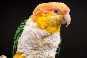 птичий грипп у попугая признаки