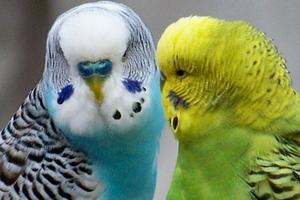 птичий грипп у попугая симптомы