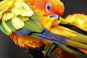 пухопероеды у попугая признаки