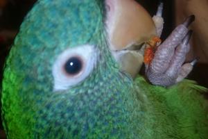 пухопероеды у попугая симптомы