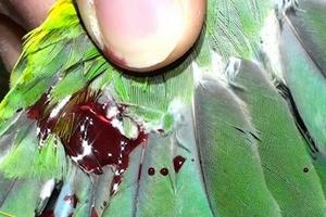 рана на крыле у попугая лечение