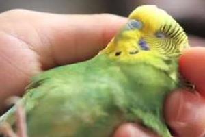 рана под крылом у попугая