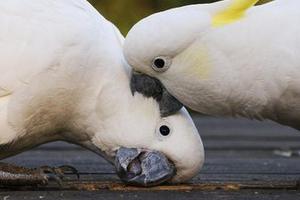 сердечный приступ у попугаев признаки