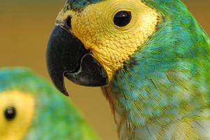 сильная слабость у попугая