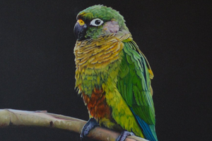 слабость у попугая без причин