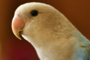 слезится глаз у попугая