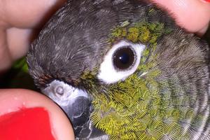 слезится один глаз у попугая