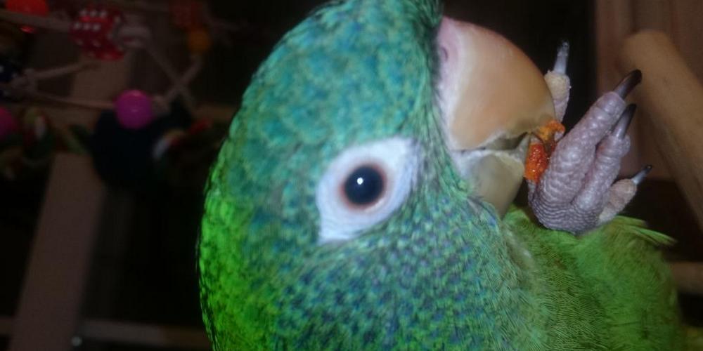слезятся глаза у попугая