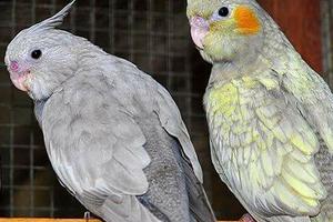 у попугая дрожат крылья причины