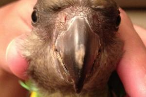 у попугая нос коричневый