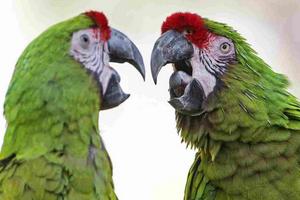 у попугая опухла ноздря