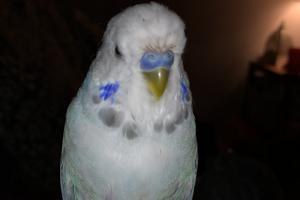у попугая отваливается клюв