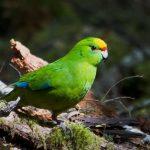 Кто такие попугаи какарики?