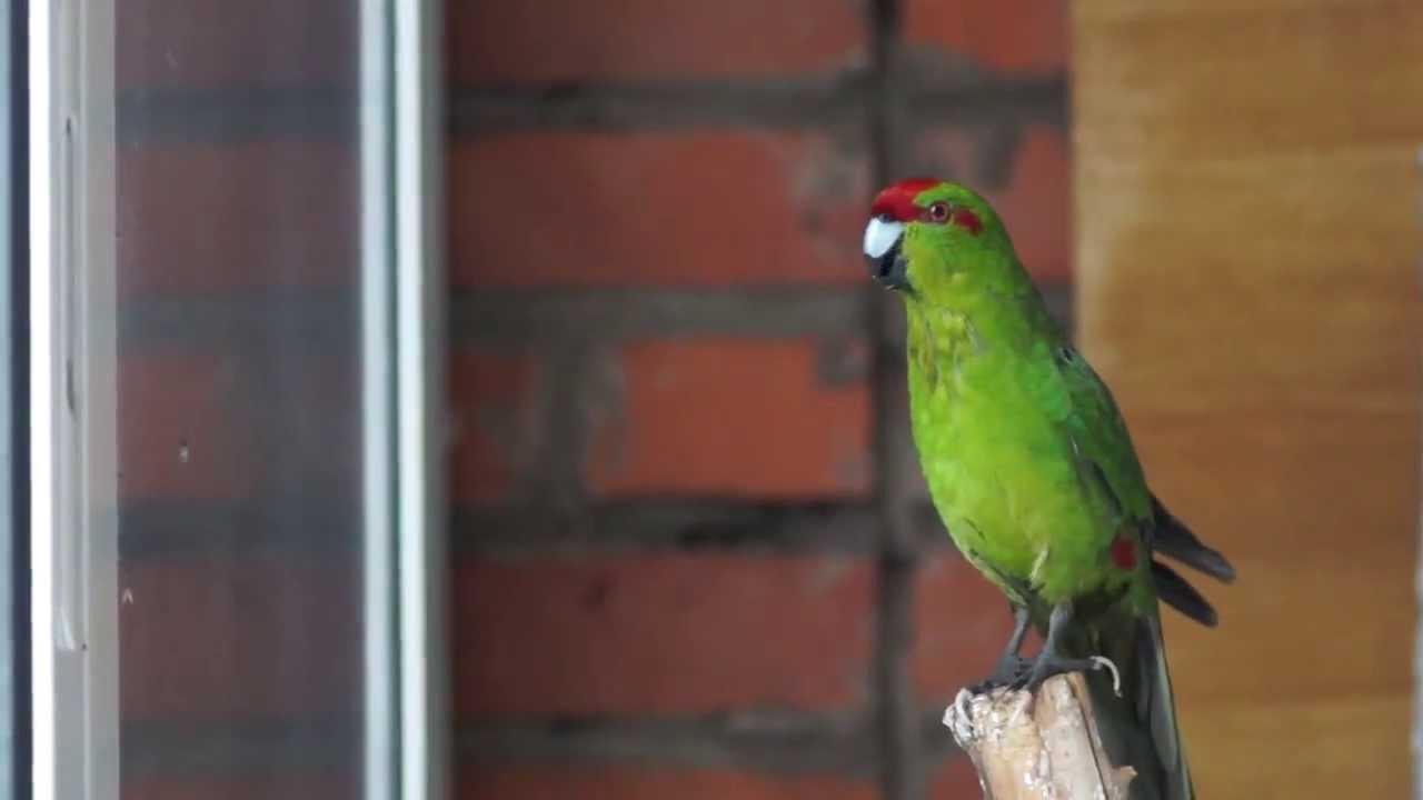 Пение и разговоры попугаев какариков