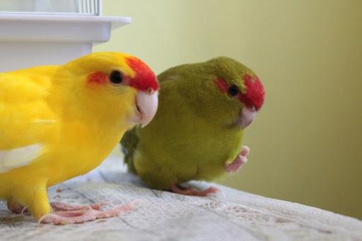 Виды попугаев какариков