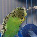 Что нужно для содержания попугая?